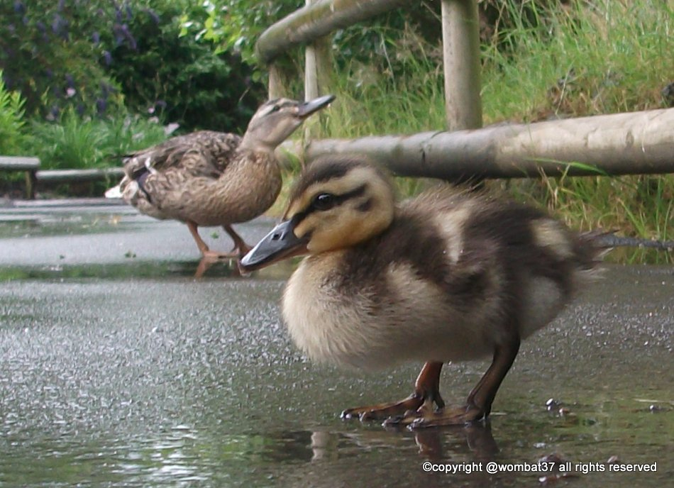Duckling at Chester Zoo