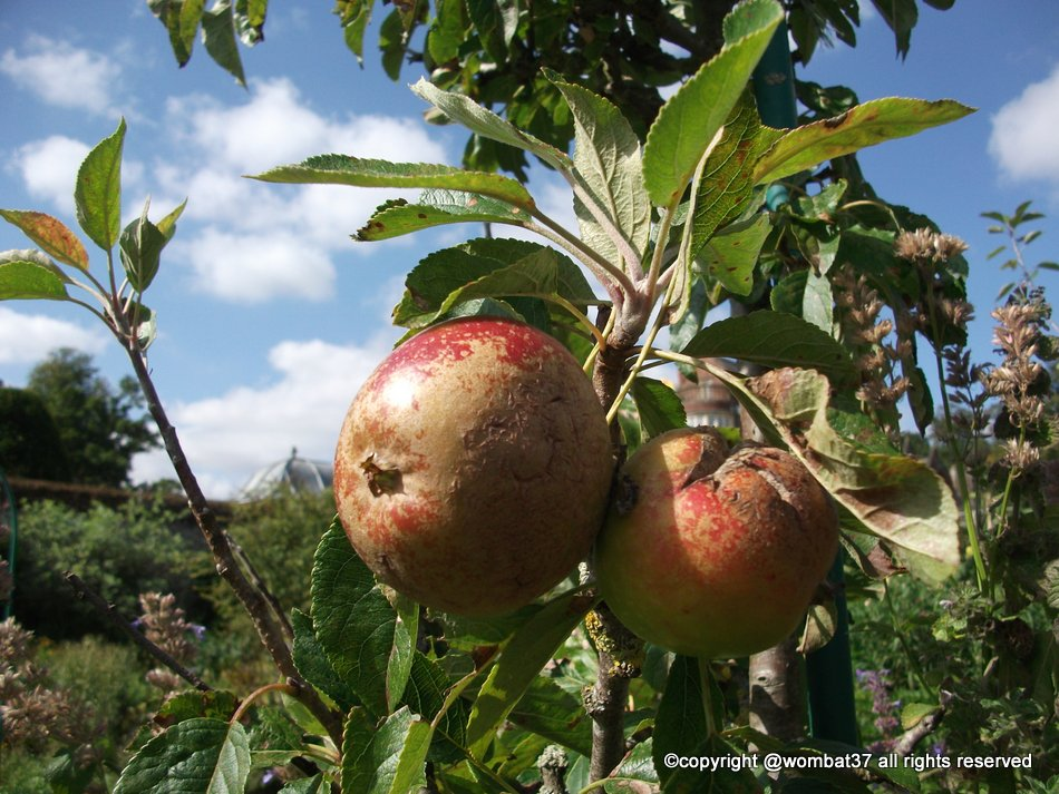 Russeting on old apples, Burton Agnes